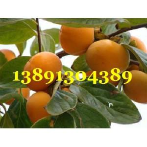 陜西柿子基地,陜西大荔甜柿子產地,脆甜柿子在種植產地批發-- 陜西大荔水果瓜果基地合作社