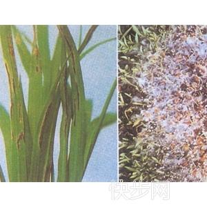 棉花枯萎病特效藥 果樹殺菌劑產品 水稻稻瘟病殺菌劑價格-- 鄭州中港萬象作物科學有限公司