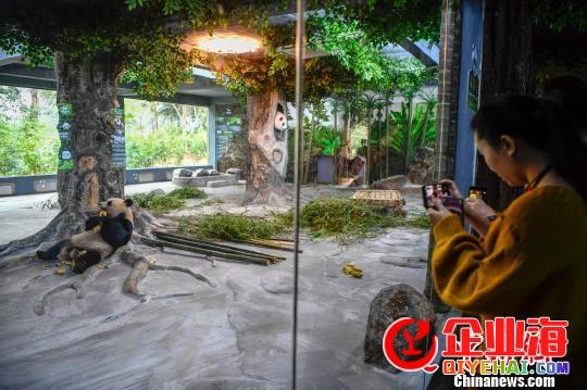 大熊猫贡贡、舜舜在海口与大众见面